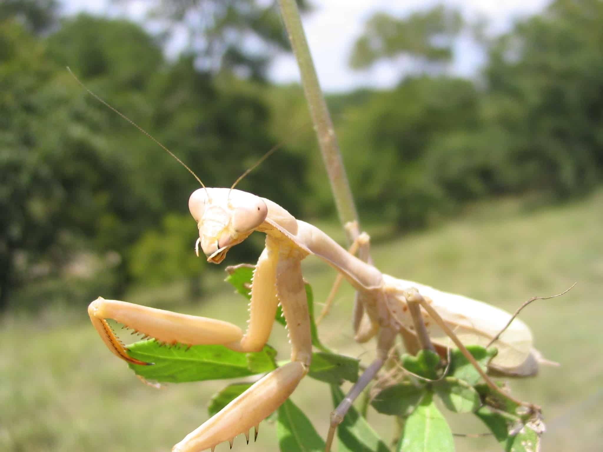 White Praying Mantis